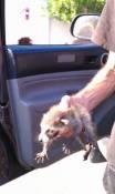 tiny racoon