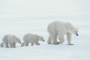 polar-bears-for-leadership